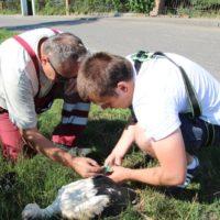 Obrączkowanie bocianów białych w Goli