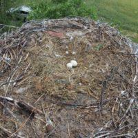 Gniazdo bocianów białych w Wojciechowie