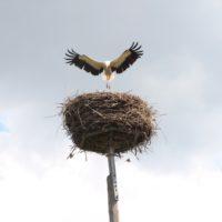 Lądowanie bociana