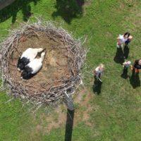 Gniazdo bocianów w Cerekwicy