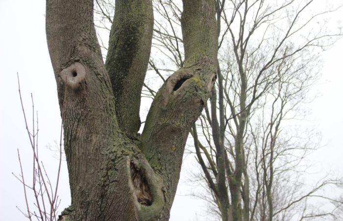 Dziuplaste drzewo, które poddane zostało naszej ocenie w ostatnim czasie.