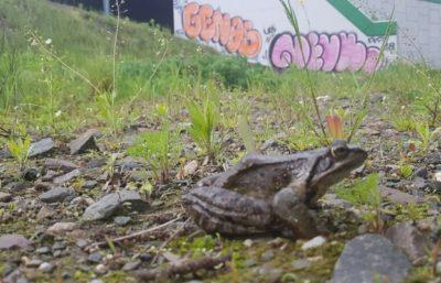 Żaba zielona